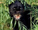 Panther65